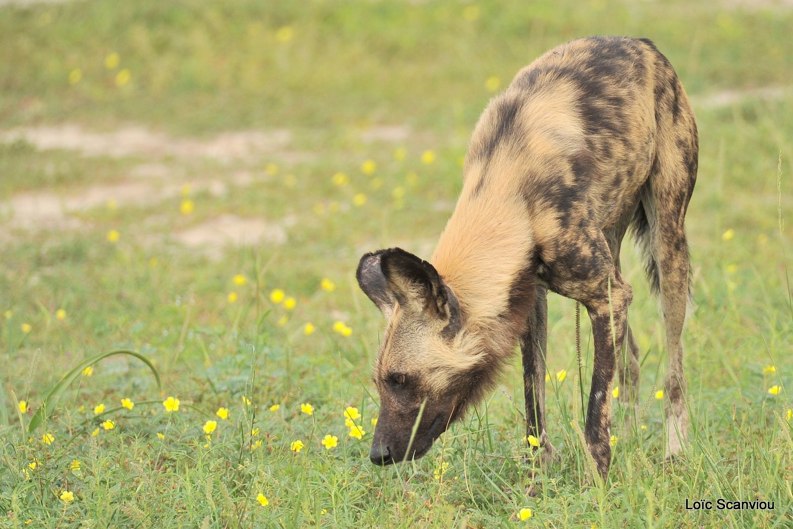 Lycaon/African Wild Dog (15)