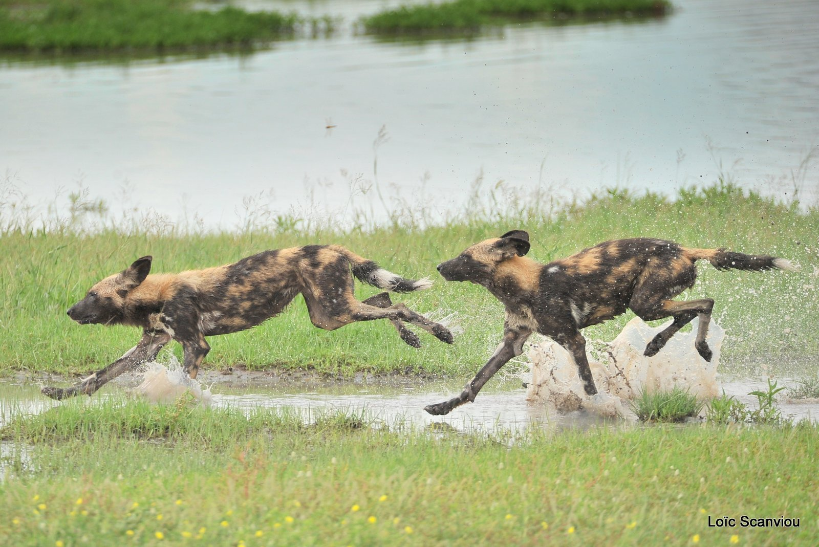Lycaon/African Wild Dog (21)