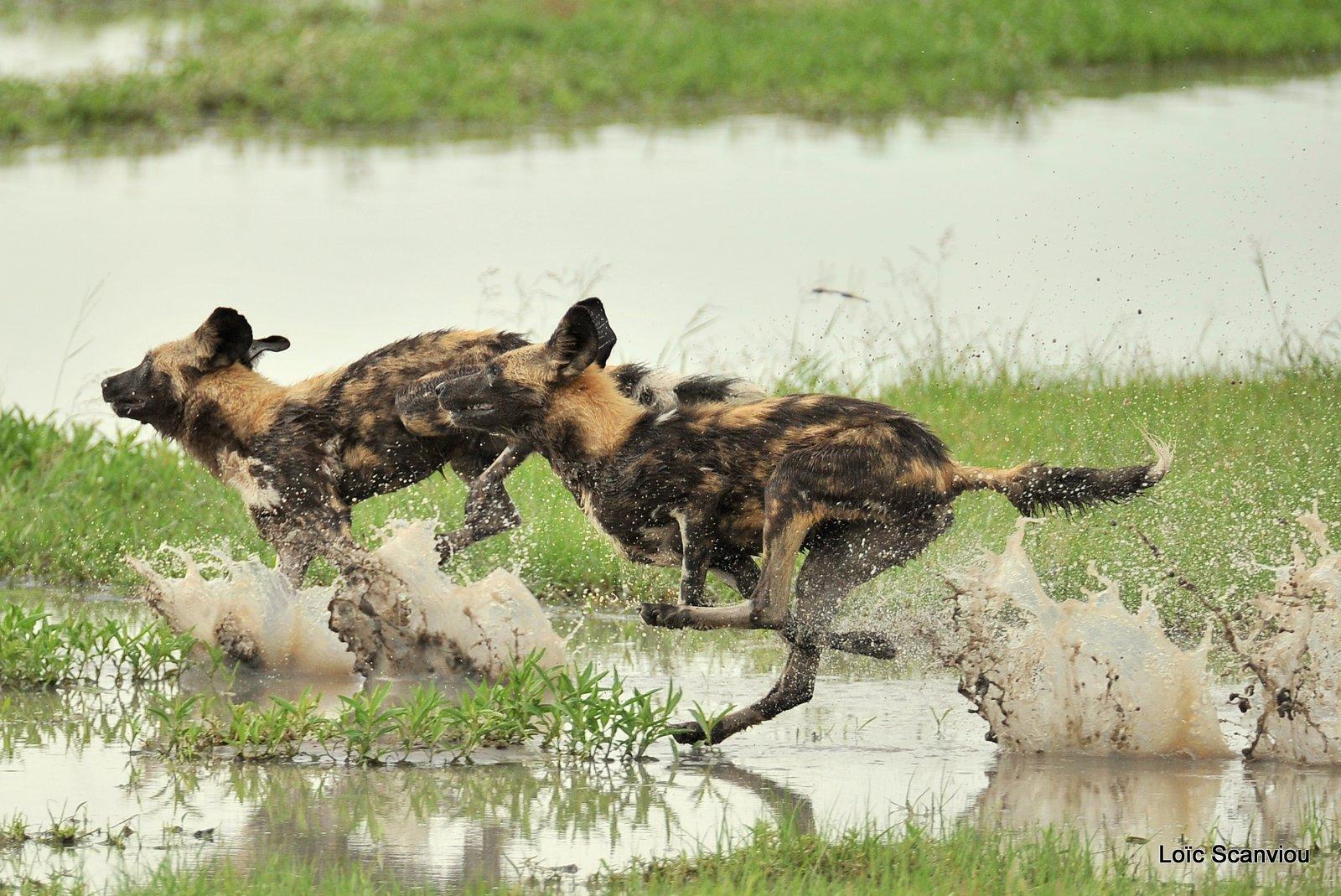 Lycaon/African Wild Dog (22)