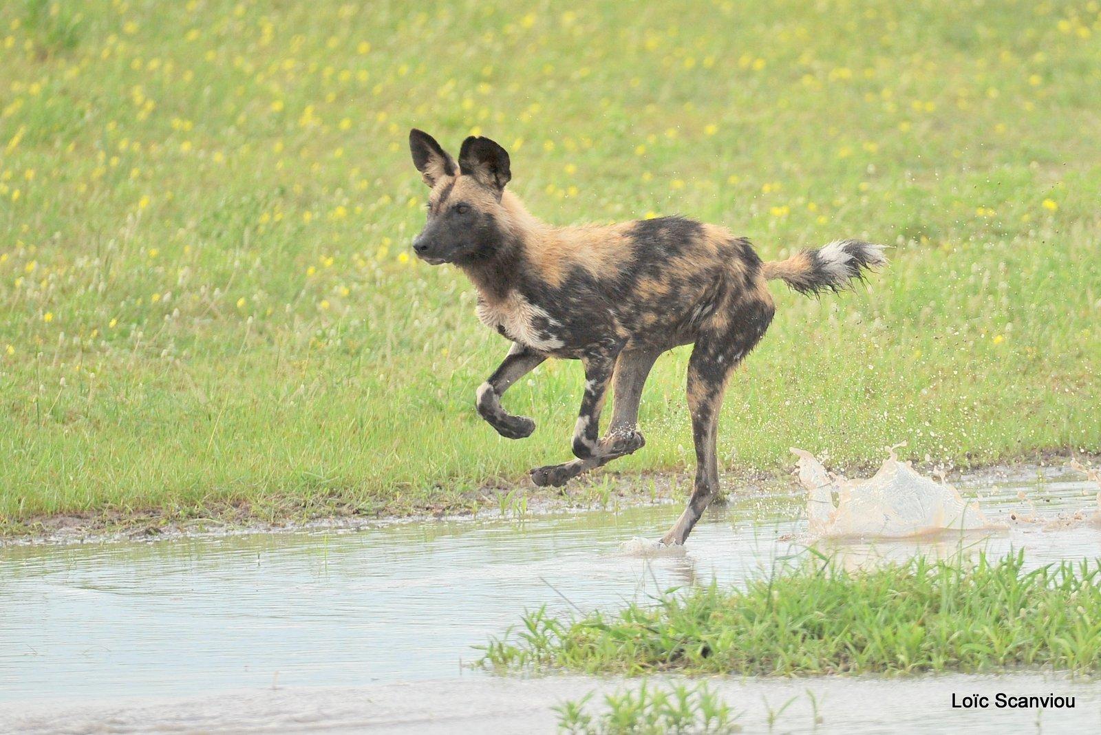 Lycaon/African Wild Dog (25)