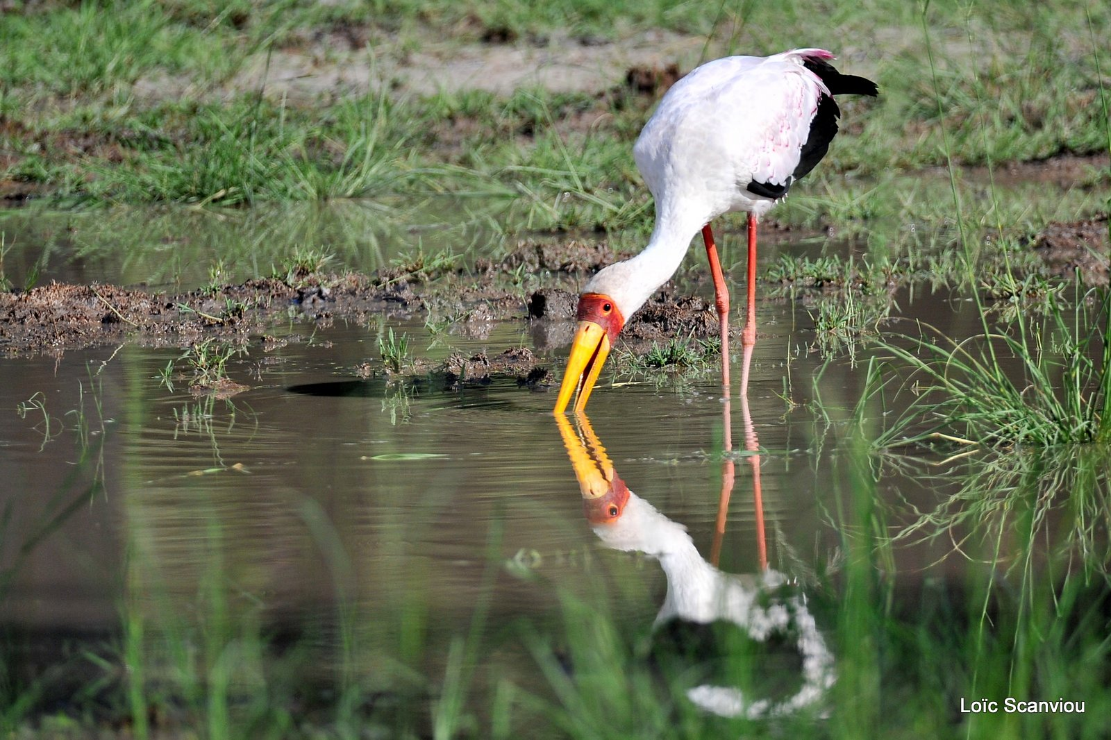 Tantale ibis/Yellow-billed Stork (4)