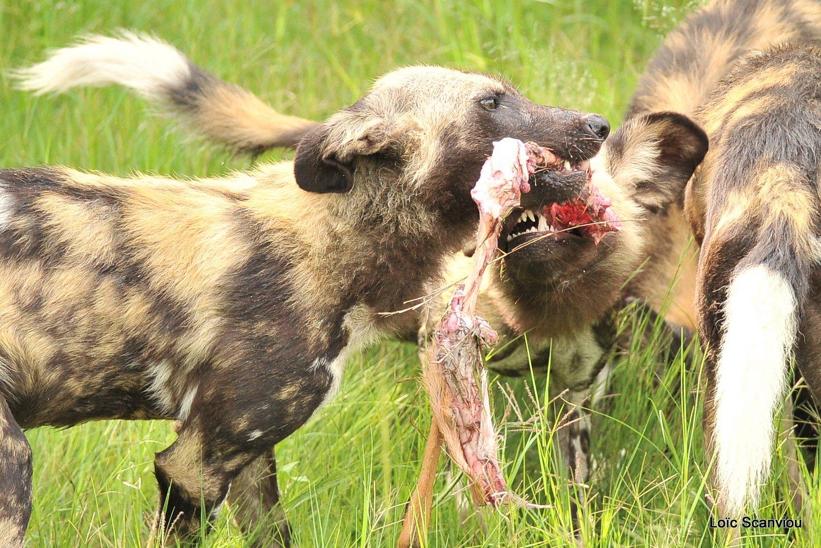 Lycaon/African Wild Dog (28)