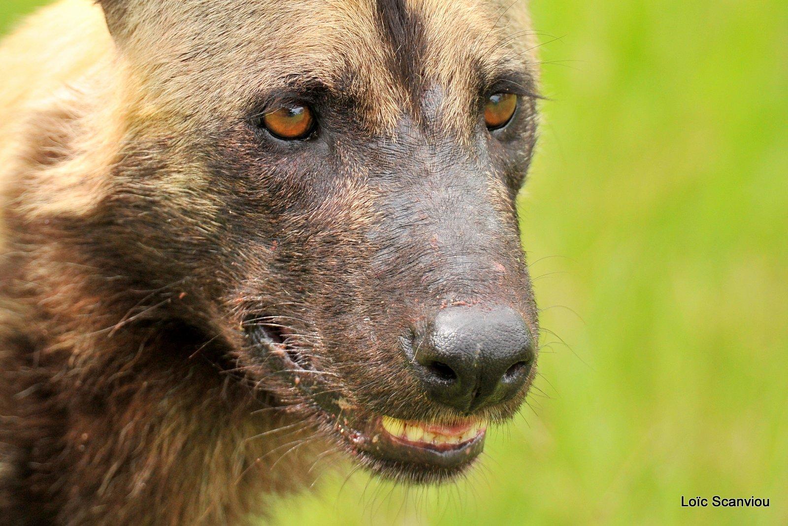 Lycaon/African Wild Dog (34)