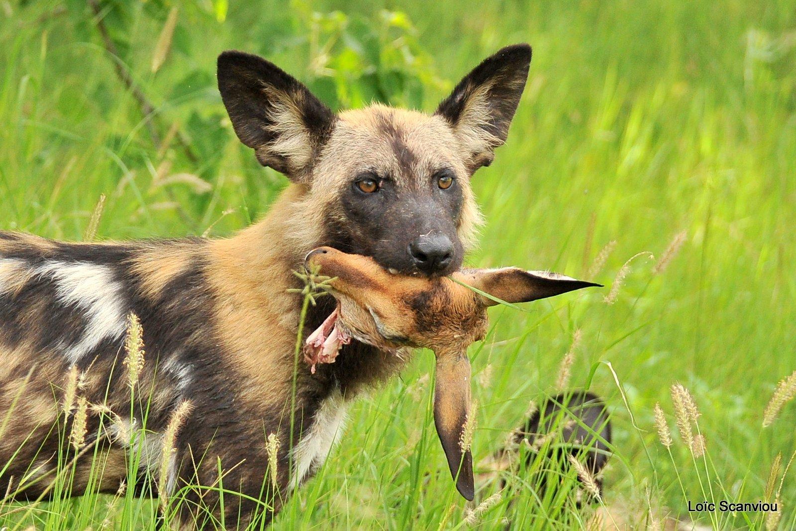 Lycaon/African Wild Dog (36)