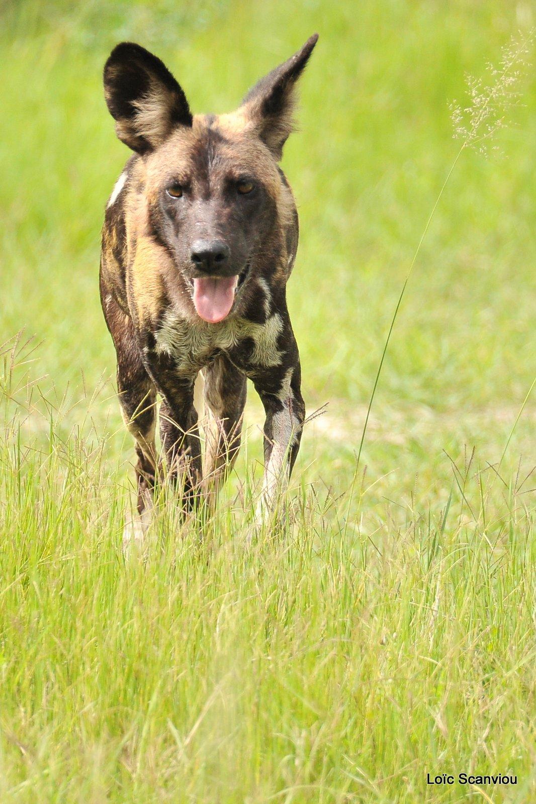 Lycaon/African Wild Dog (40)