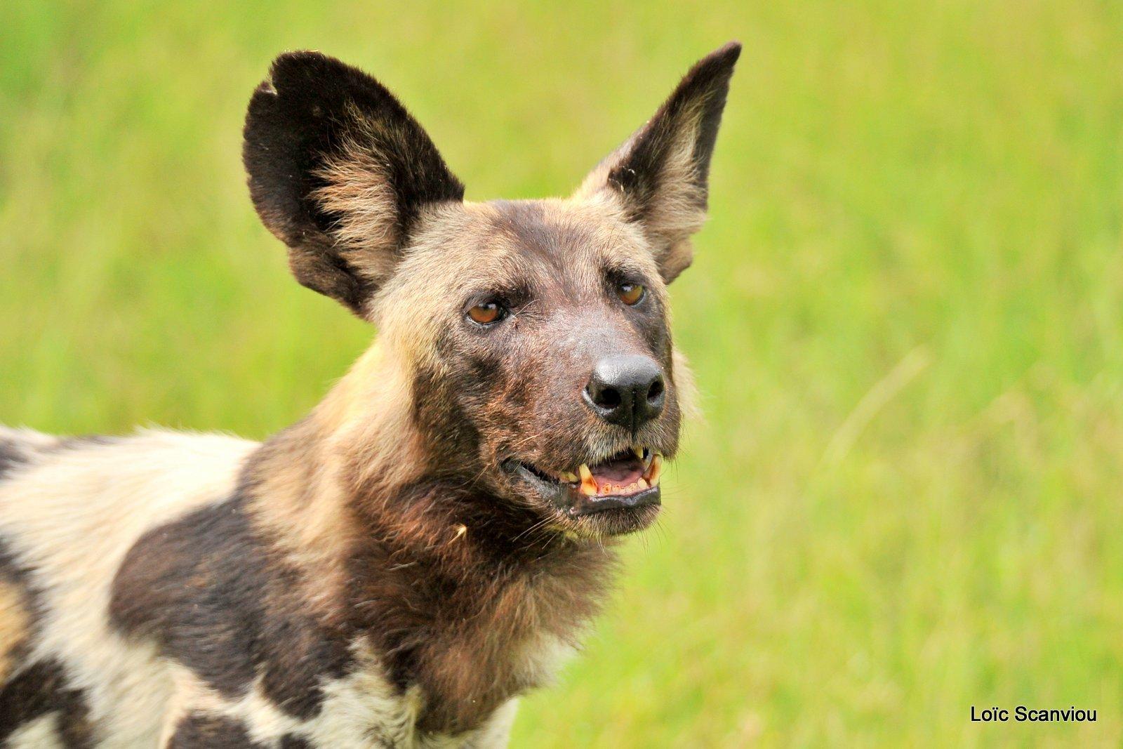 Lycaon/African Wild Dog (41)