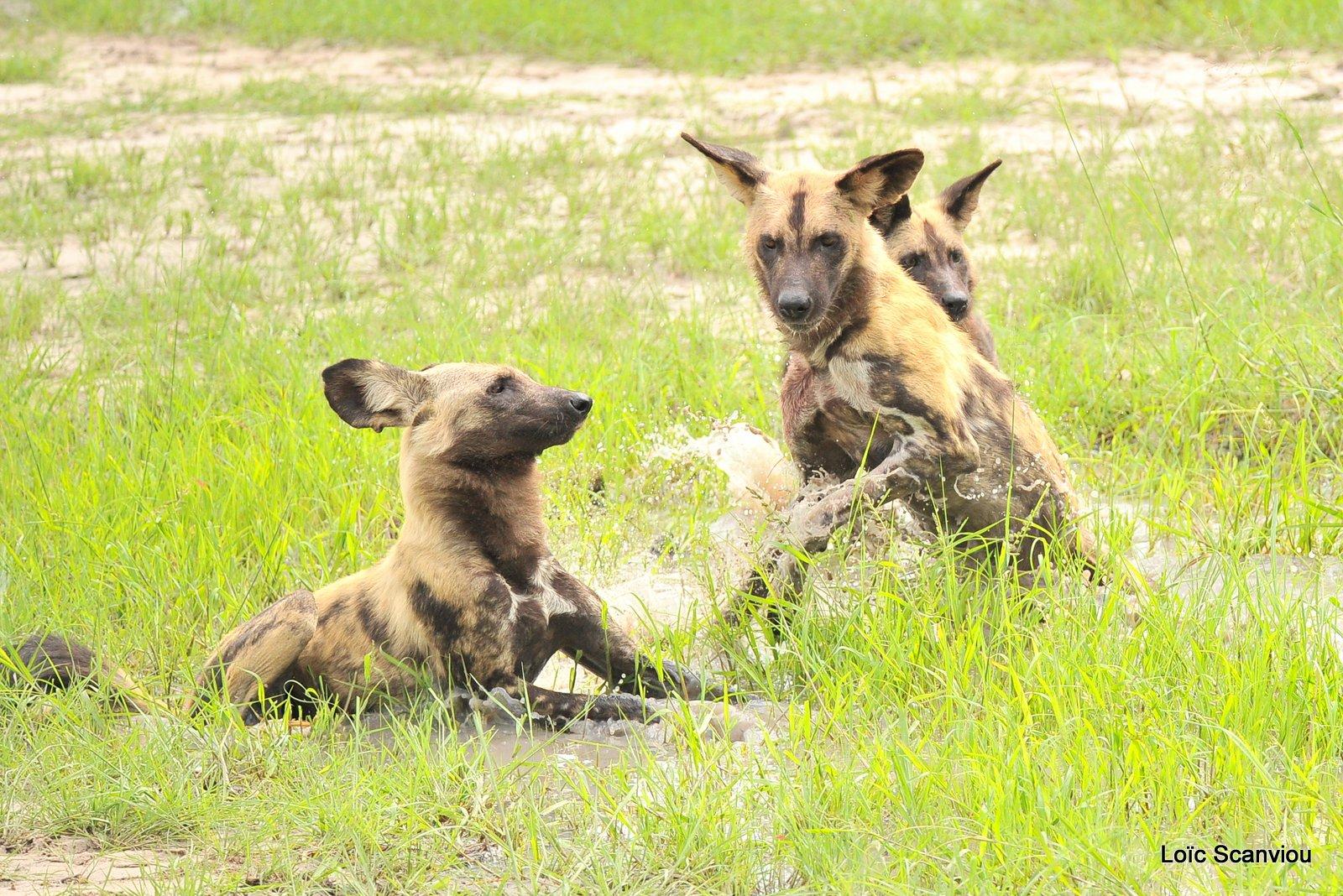Lycaon/African Wild Dog (42)