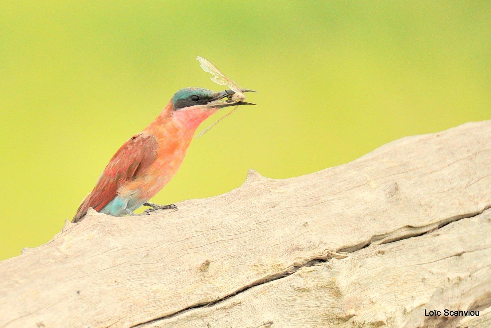 Guêpier carmin/Southern Carmine Bee-eater (4)