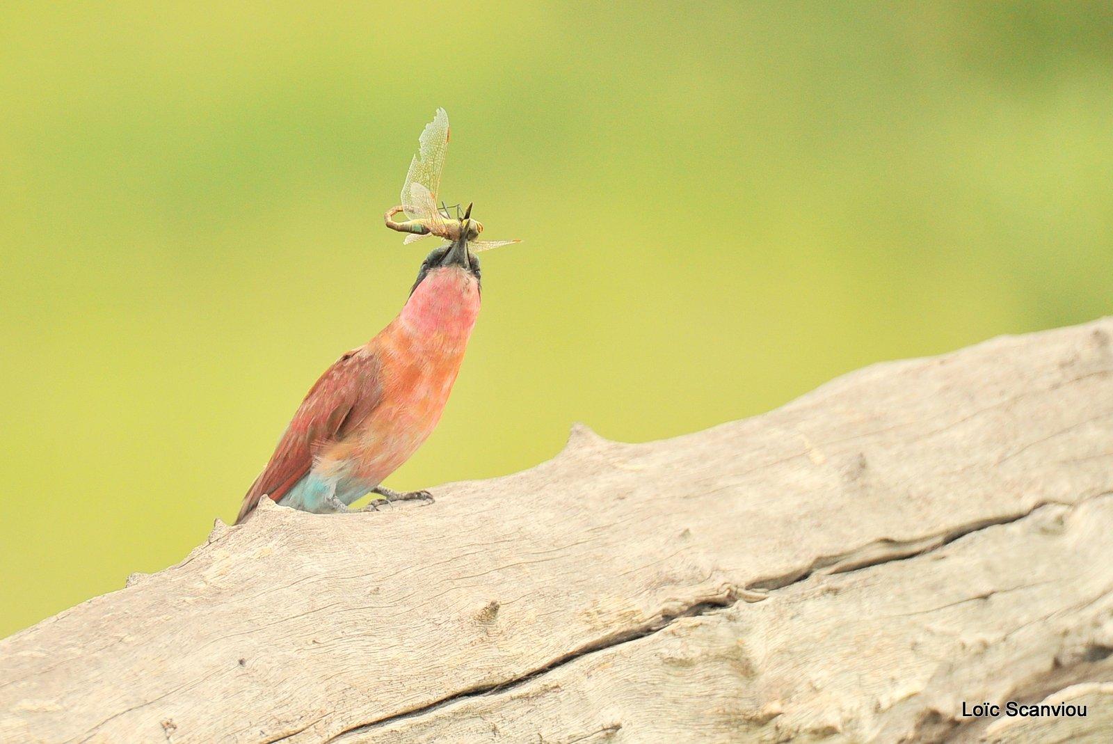 Guêpier carmin/Southern Carmine Bee-eater (5)