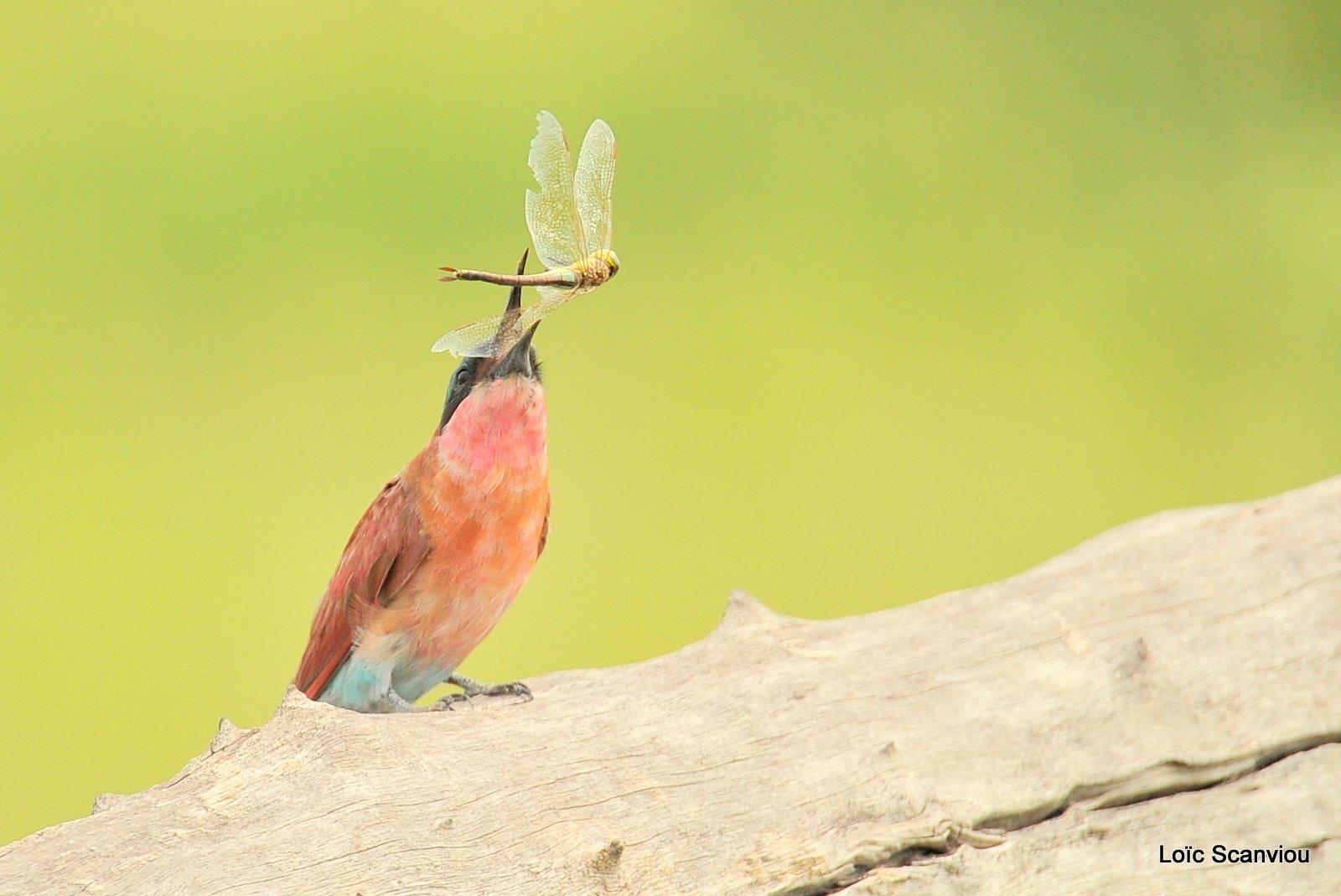 Guêpier carmin/Southern Carmine Bee-eater (6)