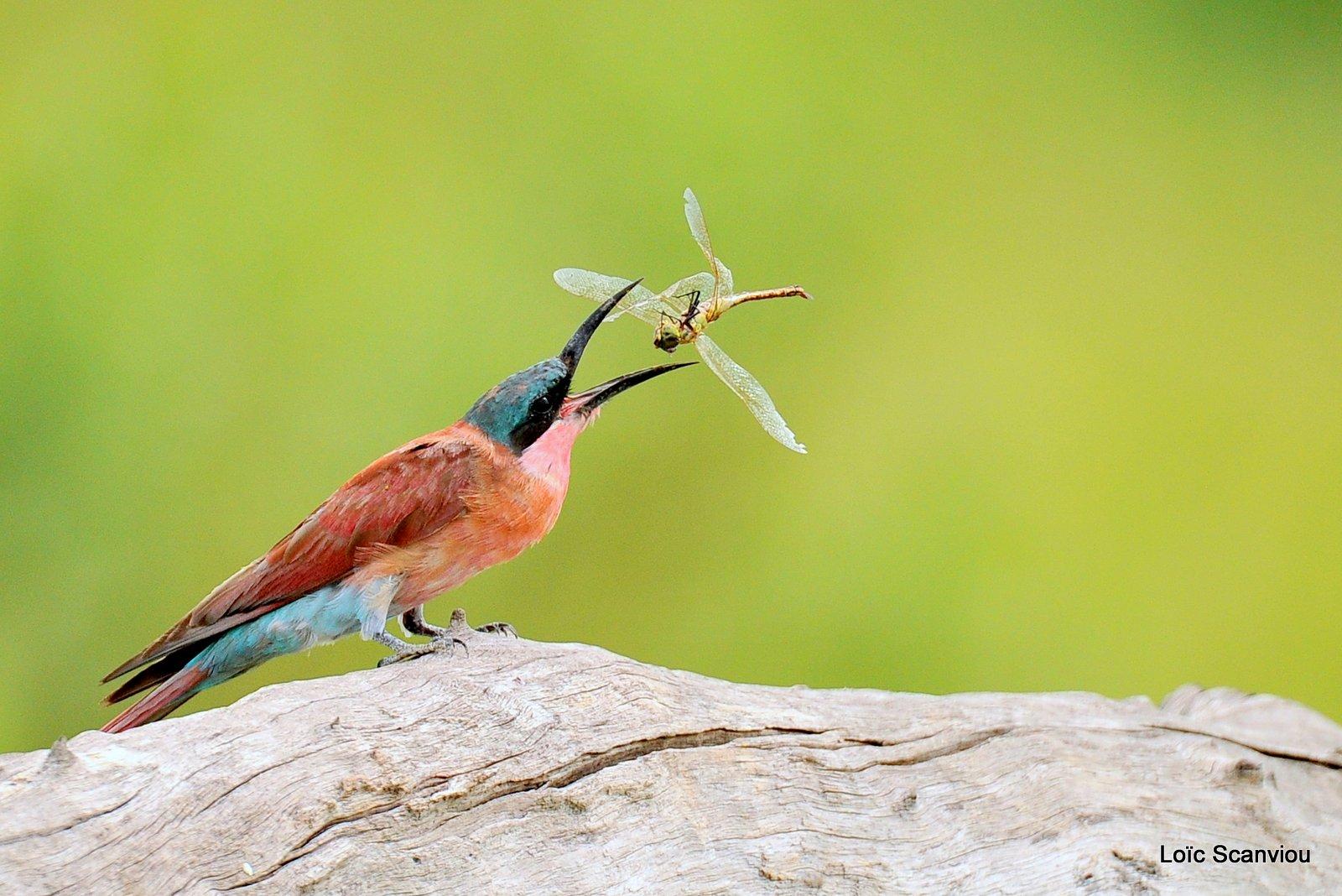 Guêpier carmin/Southern Carmine Bee-eater (11)
