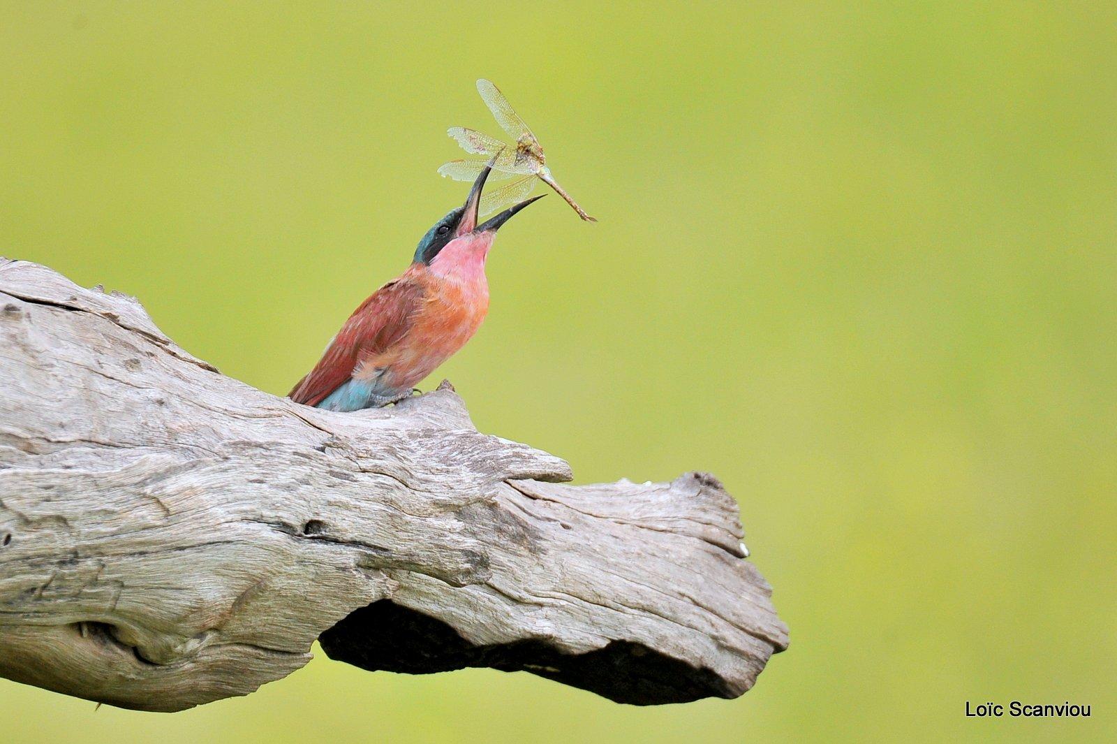 Guêpier carmin/Southern Carmine Bee-eater (12)