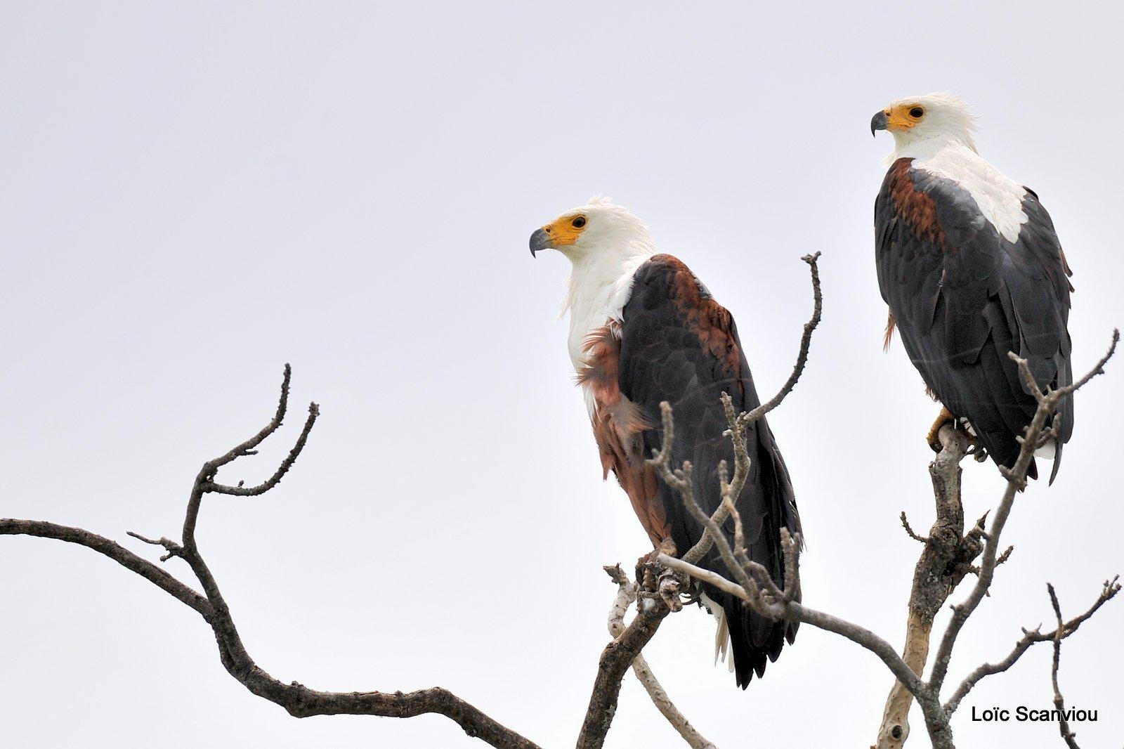 Pygargue vocifère/African fish Eagle (2)