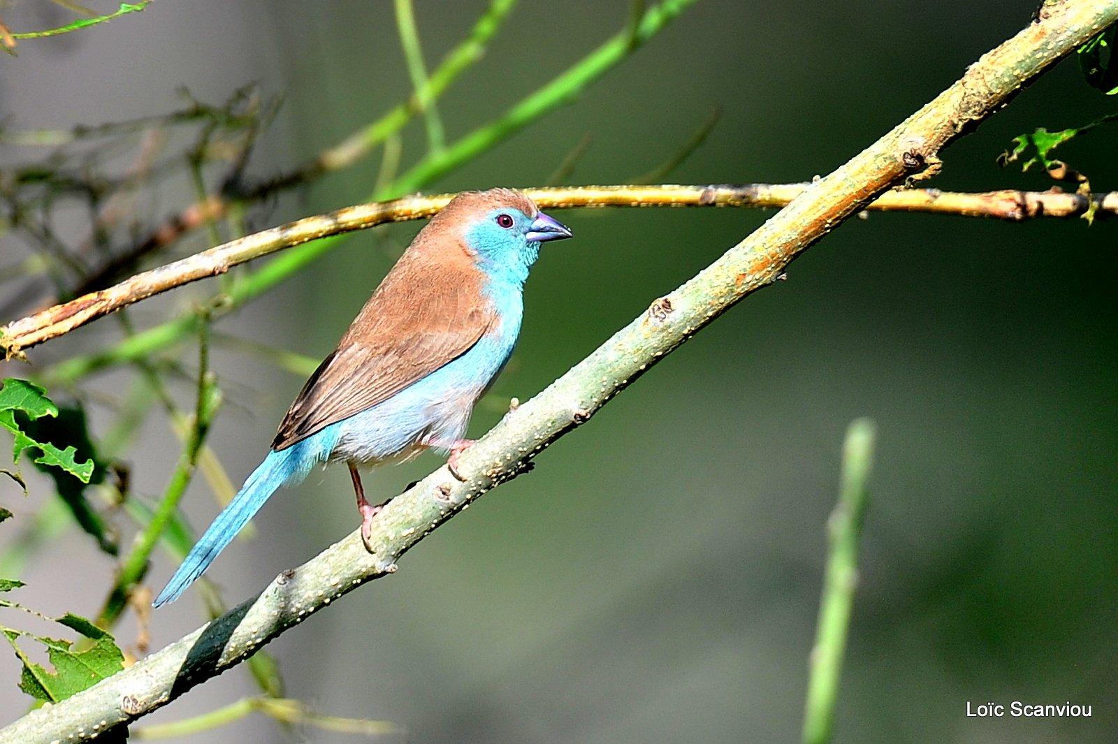 Cordonbleu d'Angola/Blue Waxbill (1)