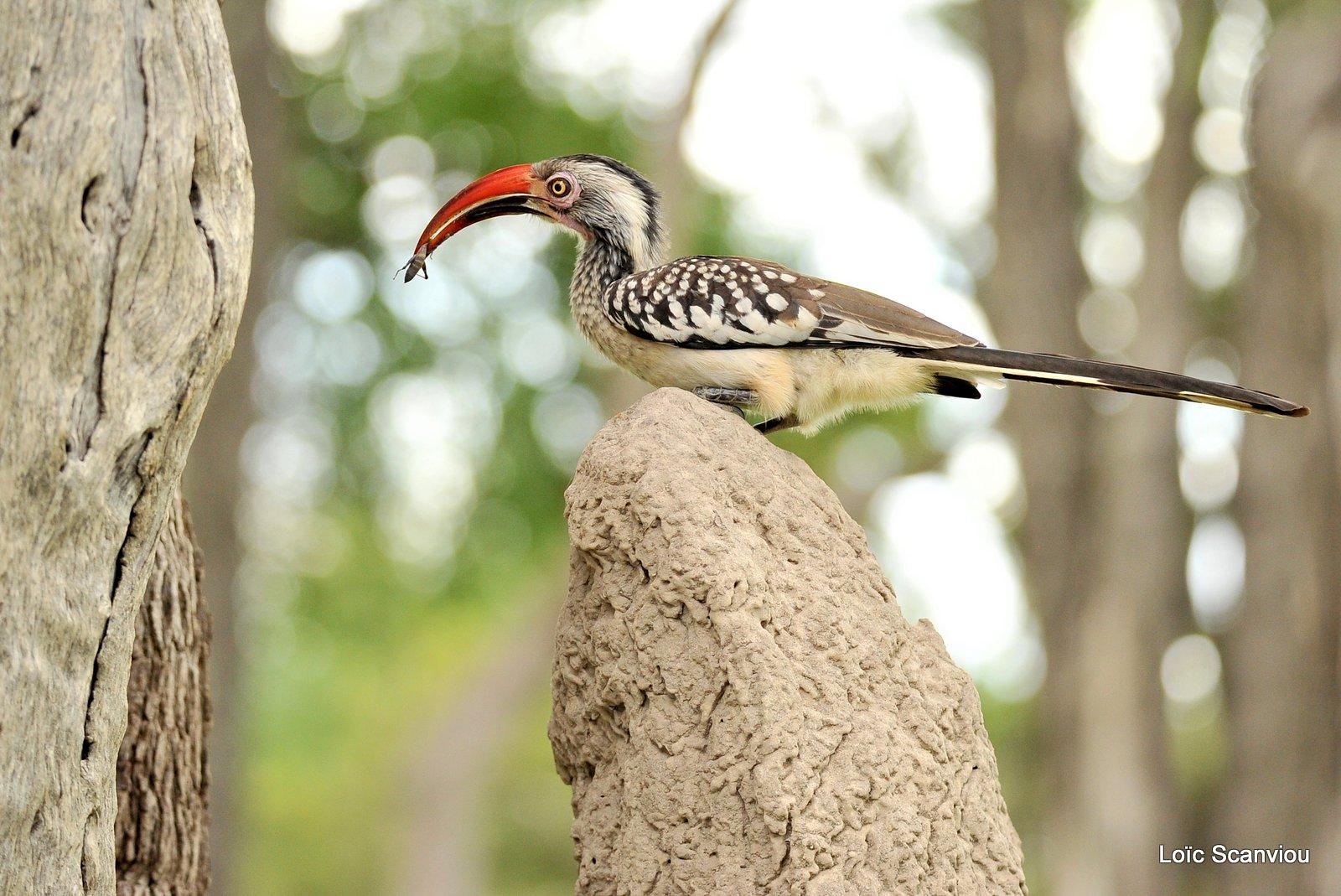 Calao à bec rouge/Red-billed Hornbill (2)