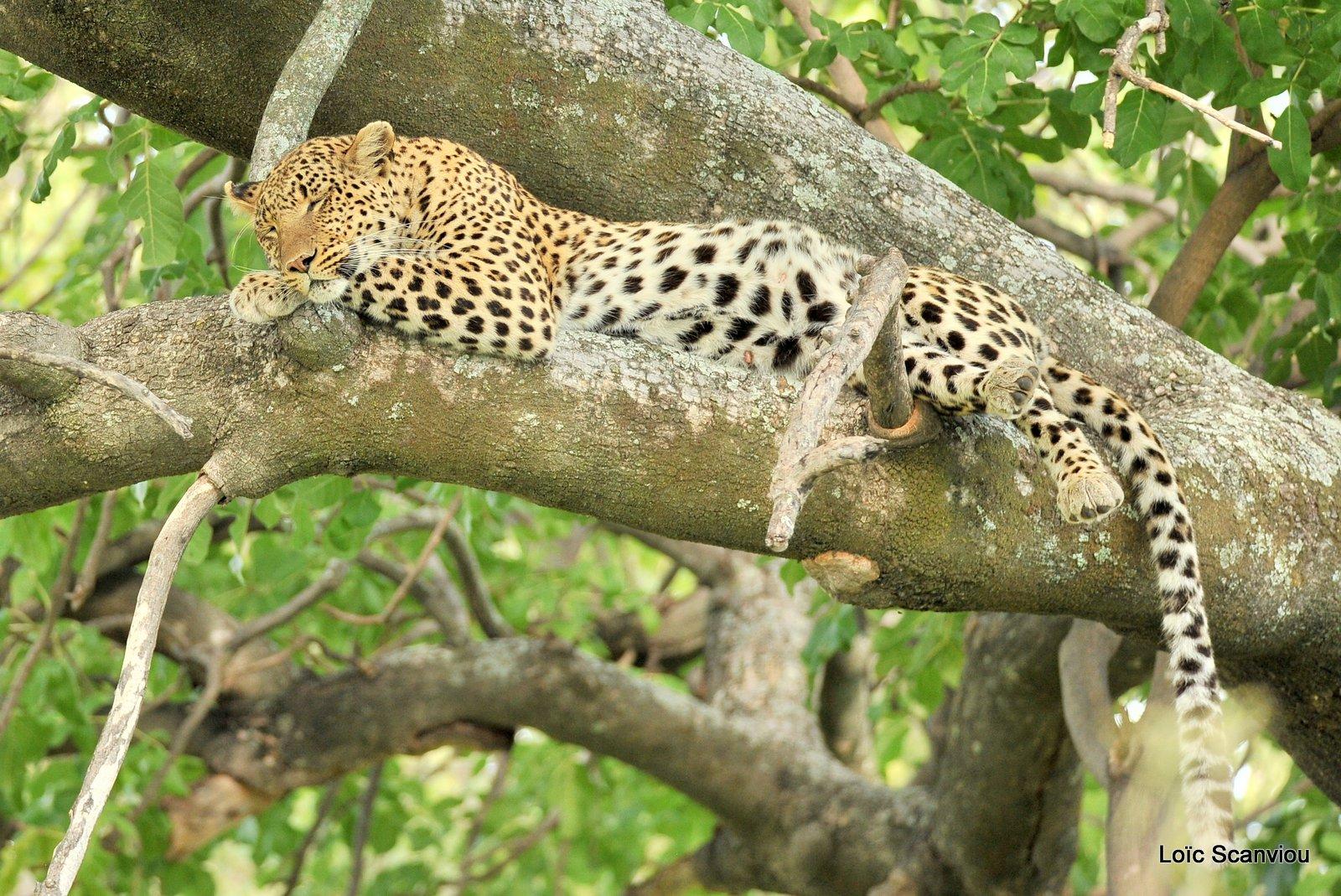 Léopard/Leopard (12)