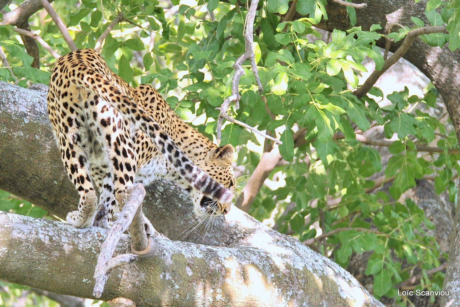 Léopard/Leopard (19)