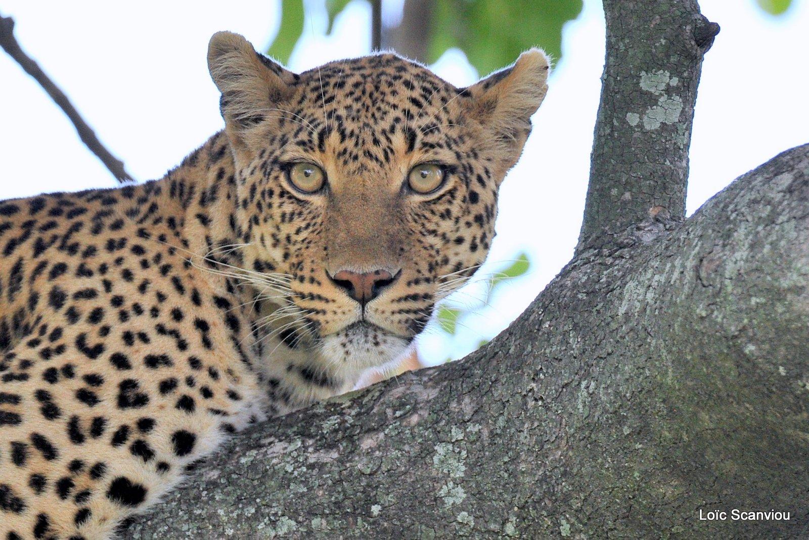 Léopard/Leopard (26)