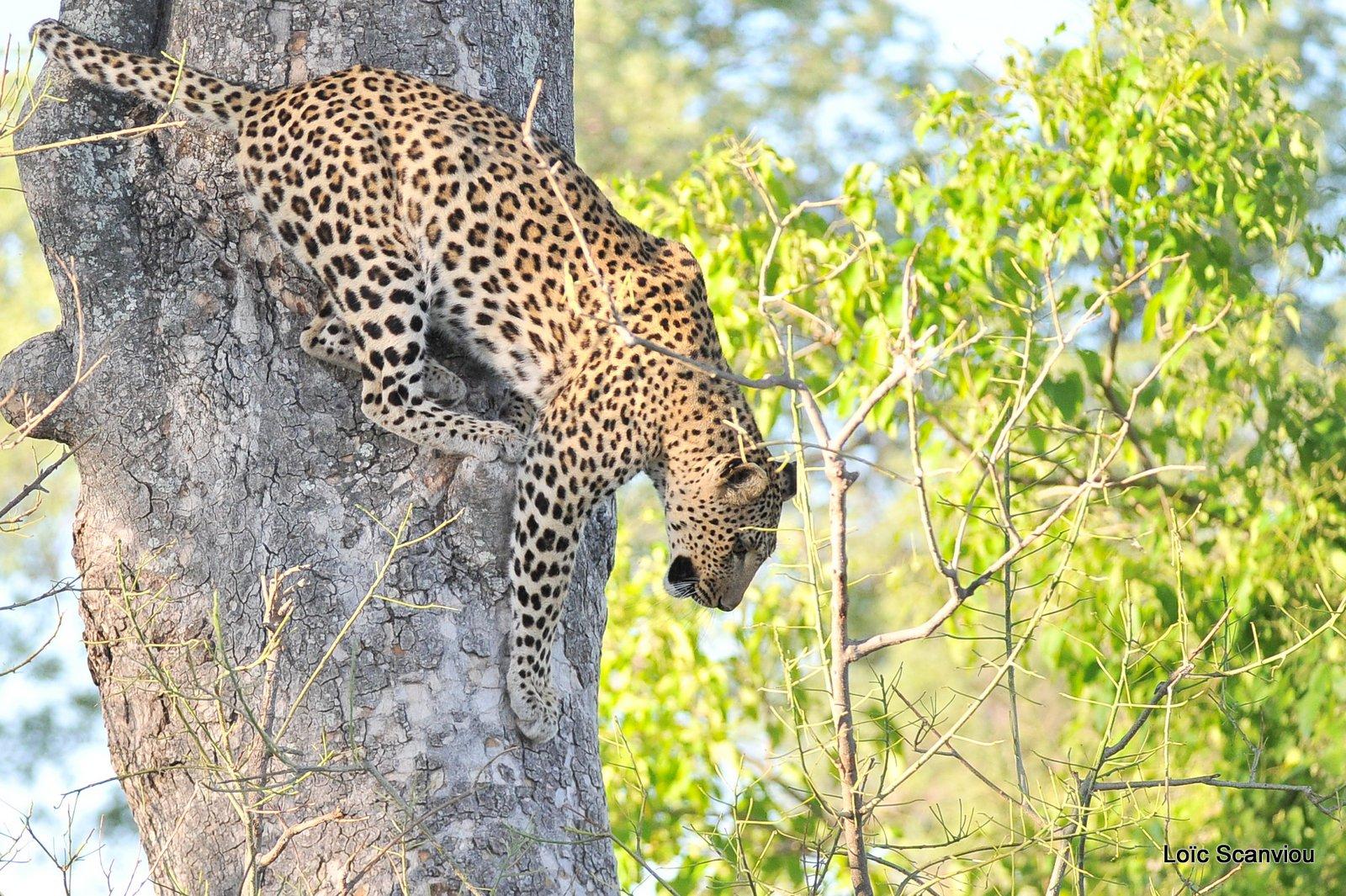 Léopard/Leopard (31)