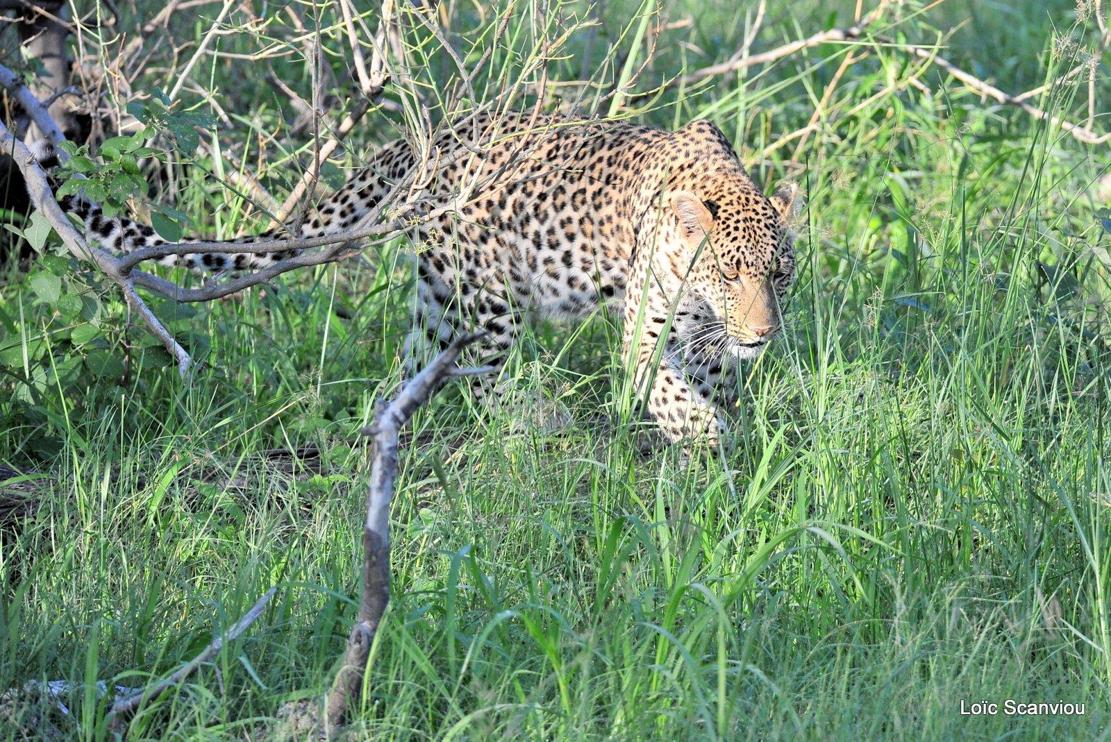 Léopard/Leopard (32)