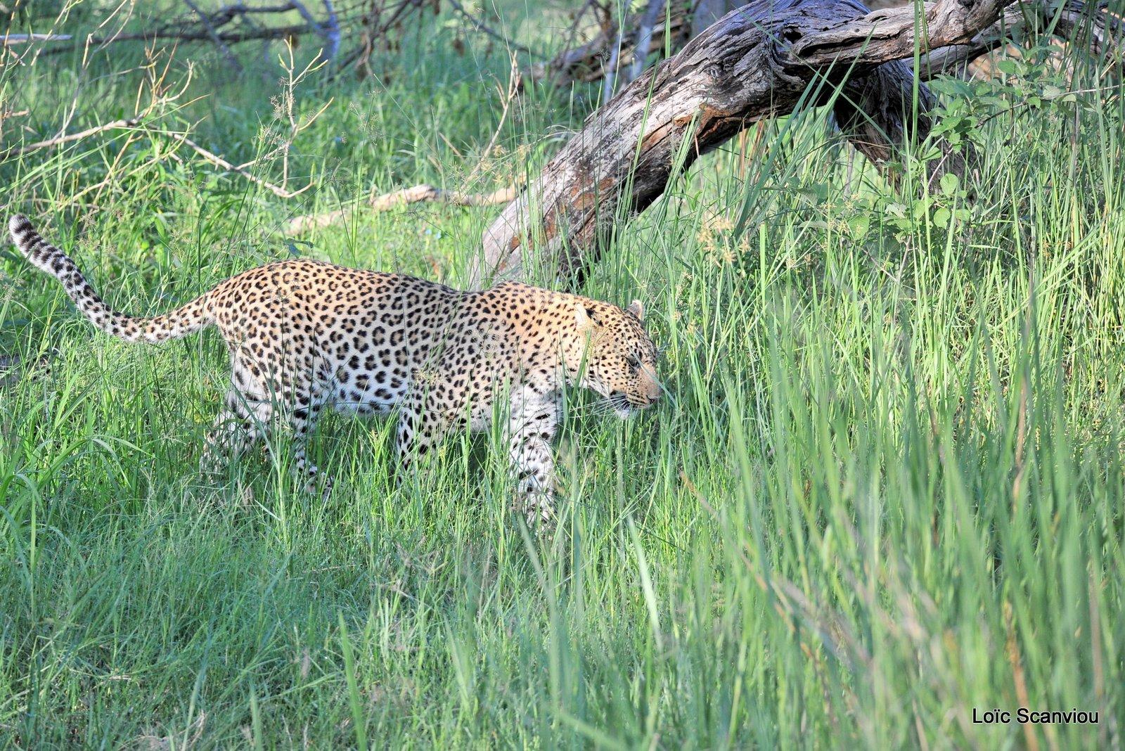 Léopard/Leopard (33)