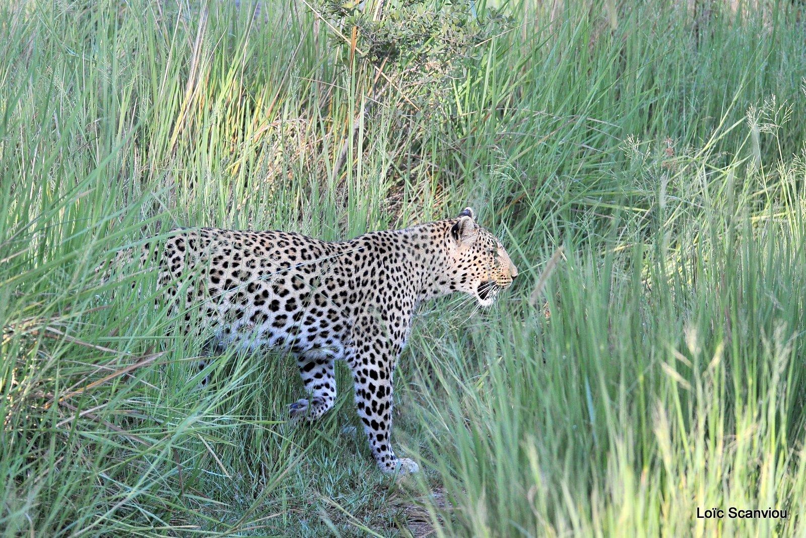 Léopard/Leopard (34)