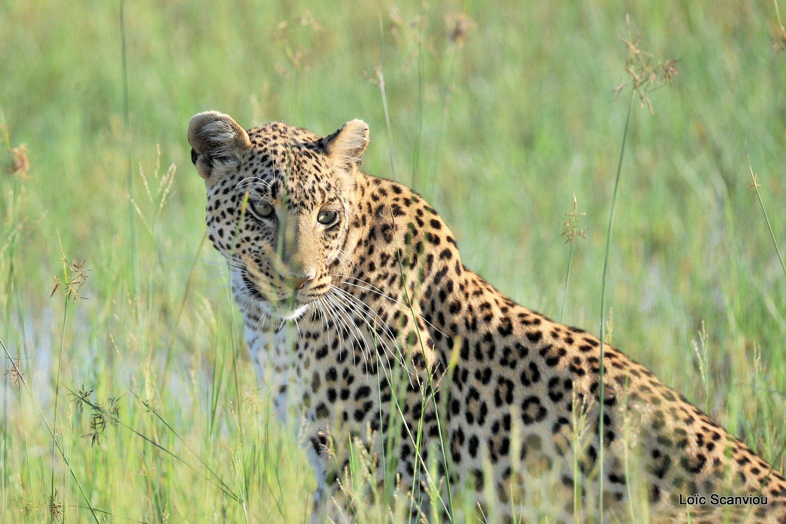 Léopard/Leopard (35)