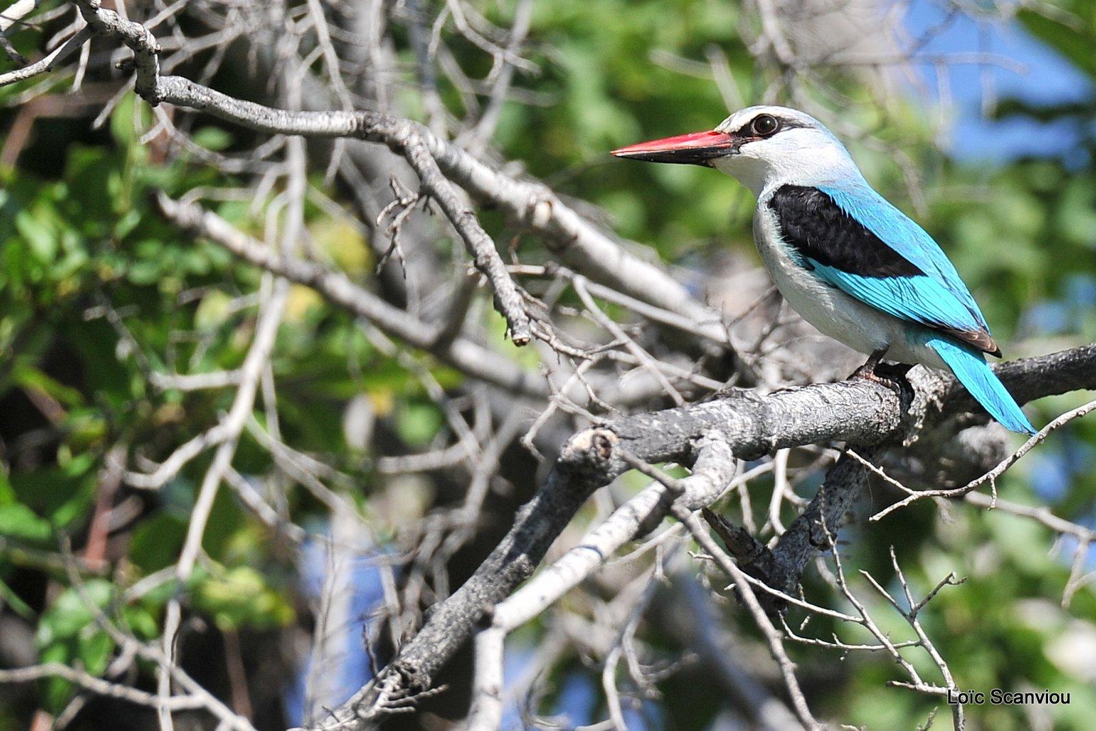 Martin-chasseur du Sénégal/Woodland Kingfisher (2)