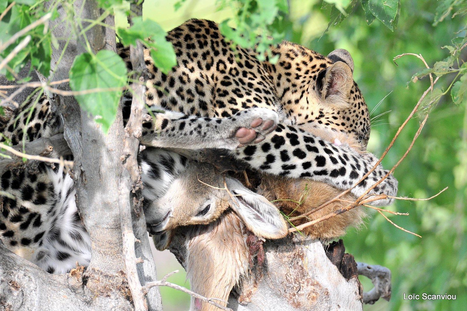 Léopard qui mange/Leopard eating (1)