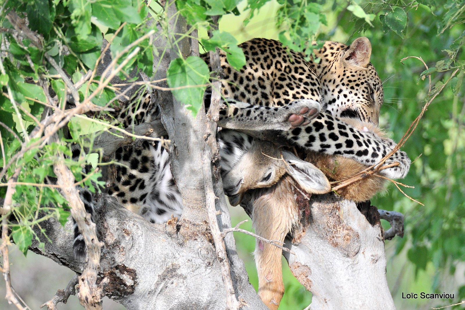 Léopard qui mange/Leopard eating (2)