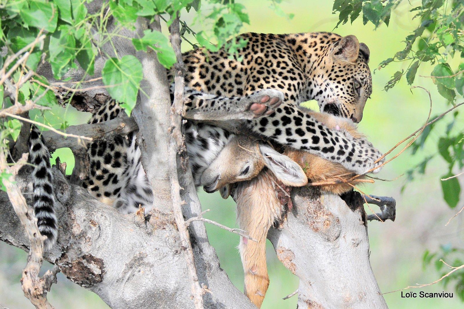 Léopard qui mange/Leopard eating (3)
