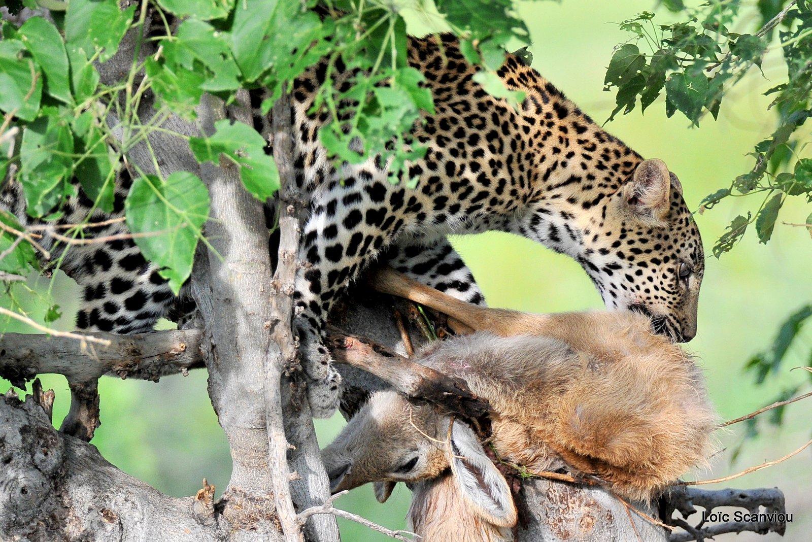 Léopard qui mange/Leopard eating (4)