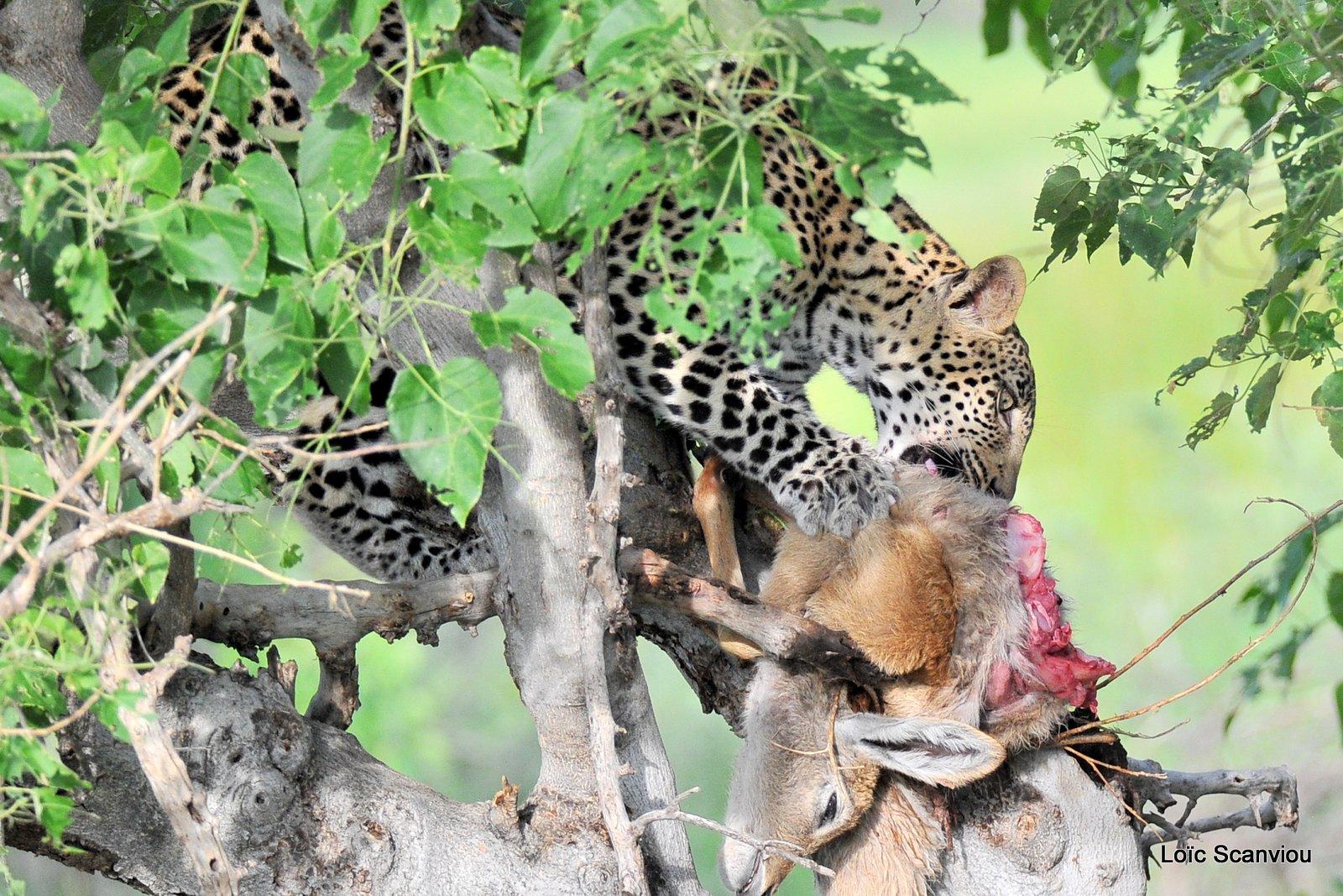 Léopard qui mange/Leopard eating (5)