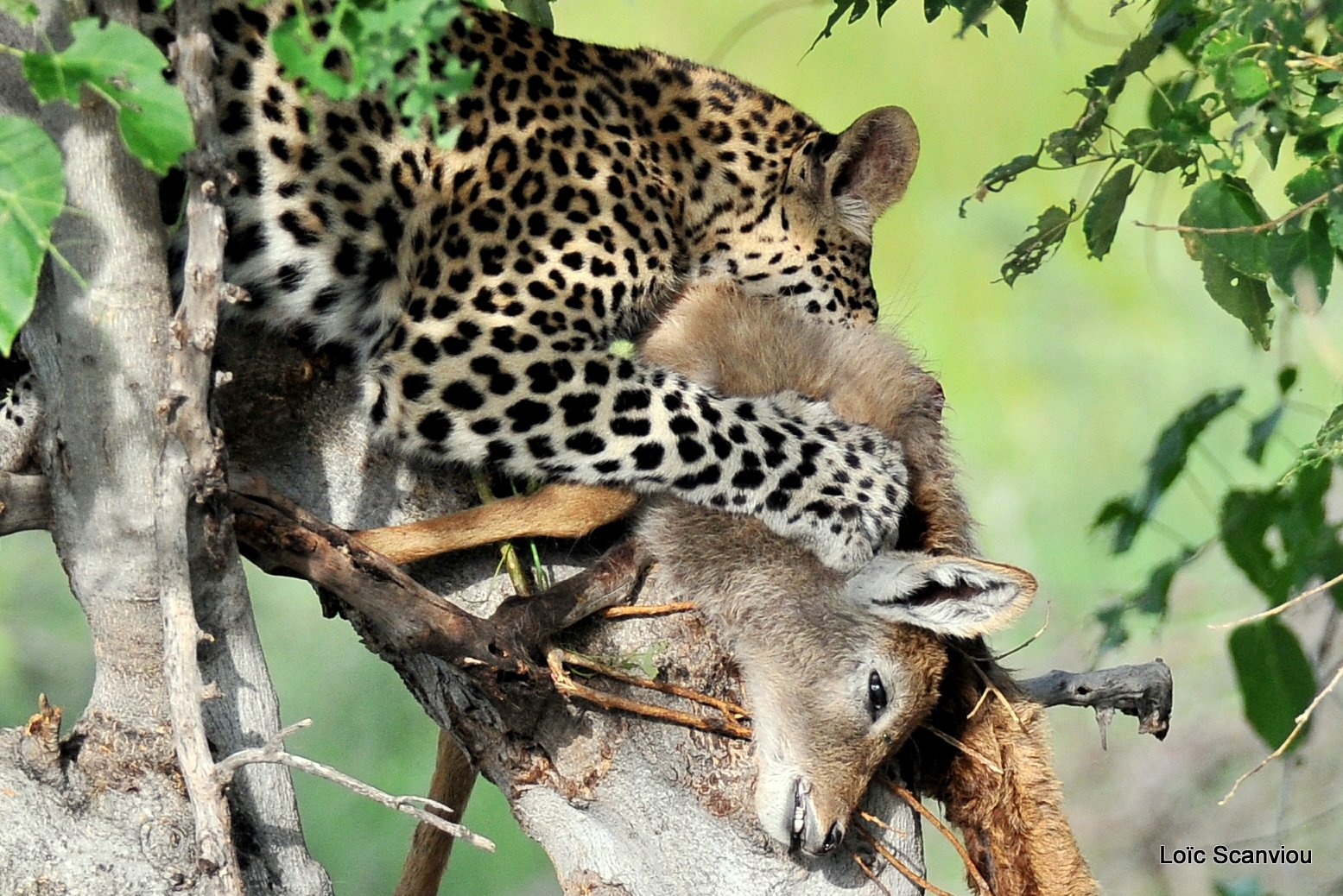 Léopard qui mange/Leopard eating (6)