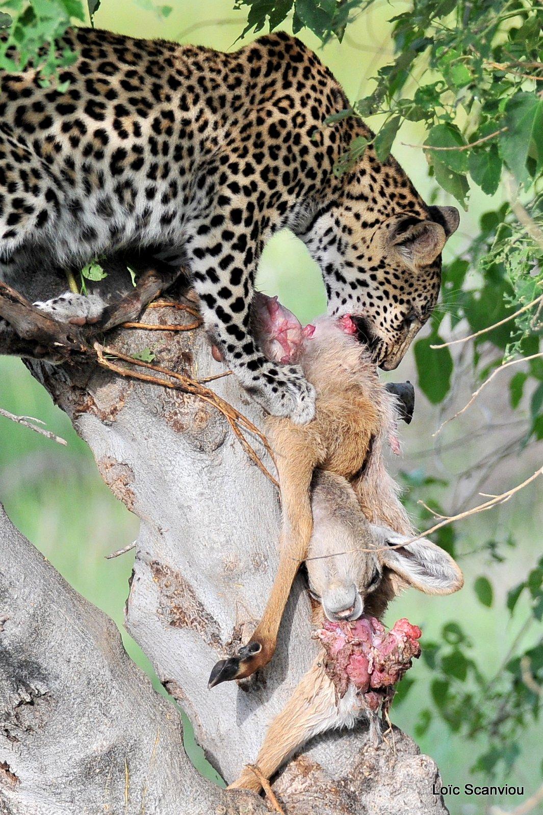 Léopard qui mange/Leopard eating (7)