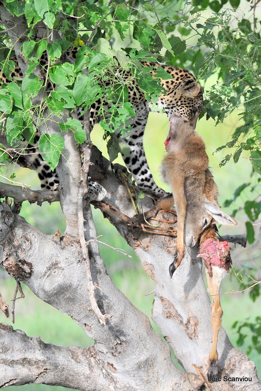 Léopard qui mange/Leopard eating (10)