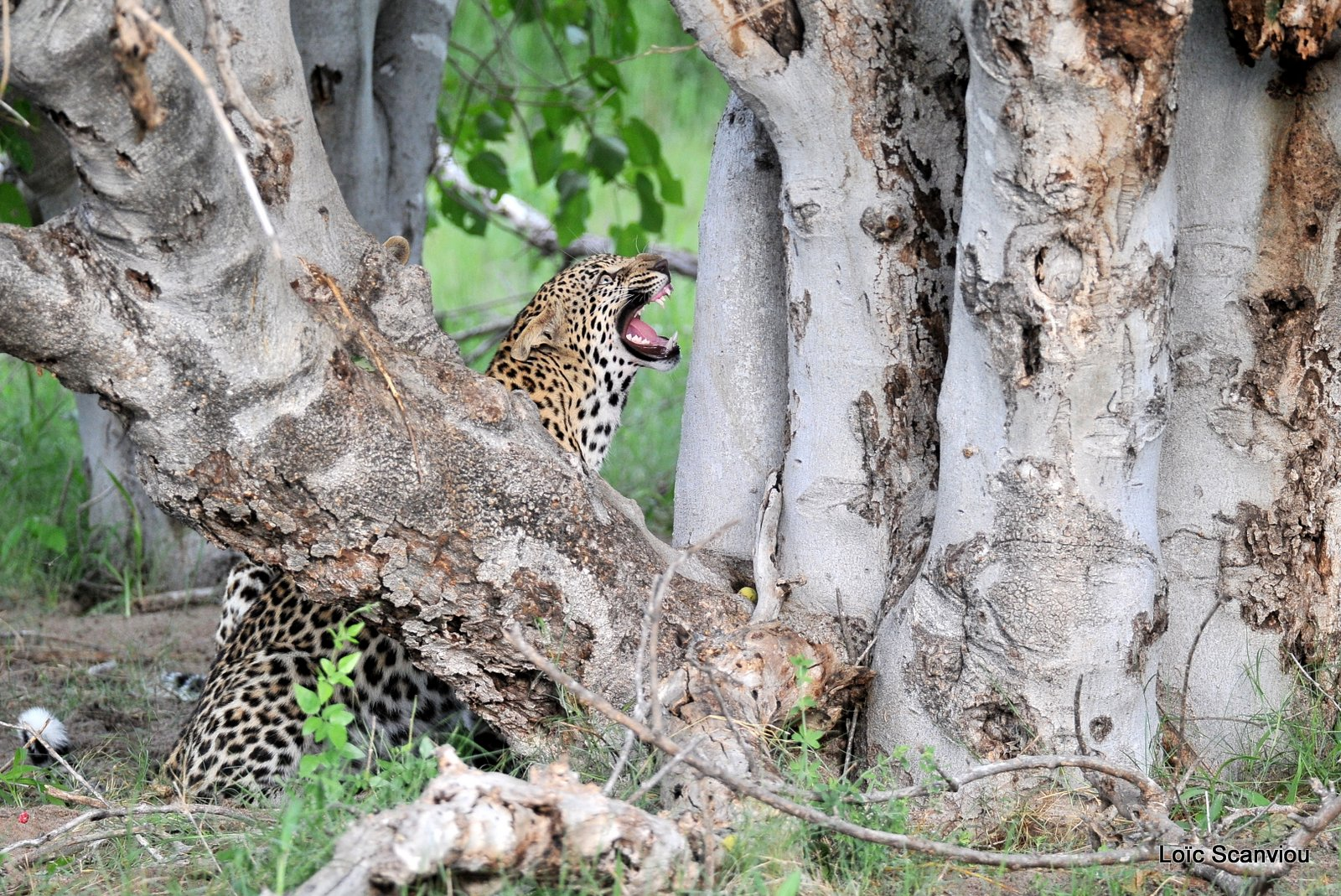 Léopard/Leopard (3)