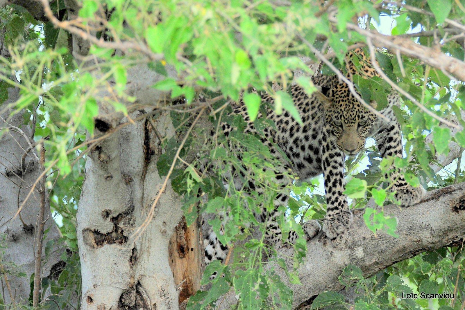 Léopard/Leopard (6)