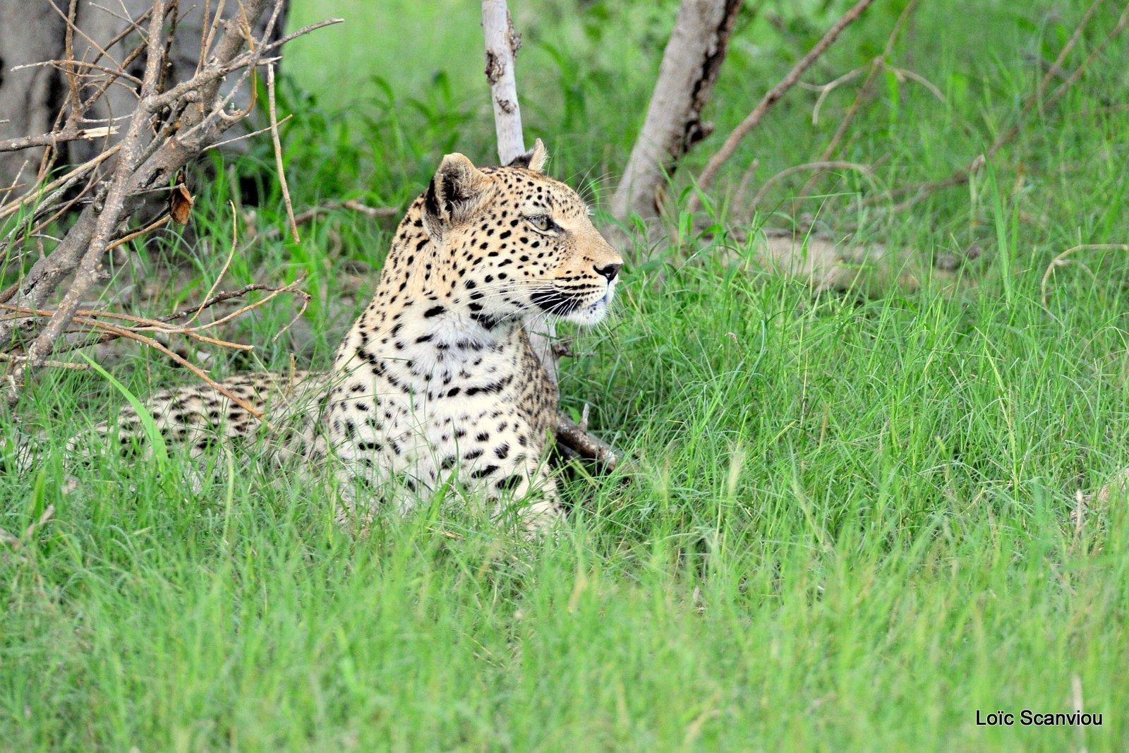 Léopard/Leopard (7)