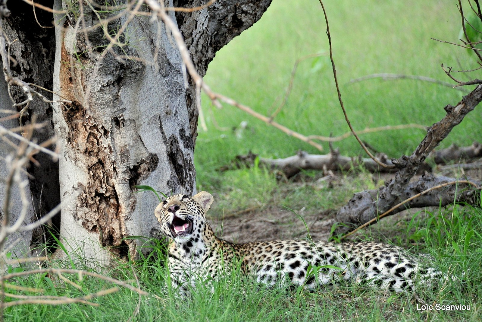 Léopard/Leopard (10)