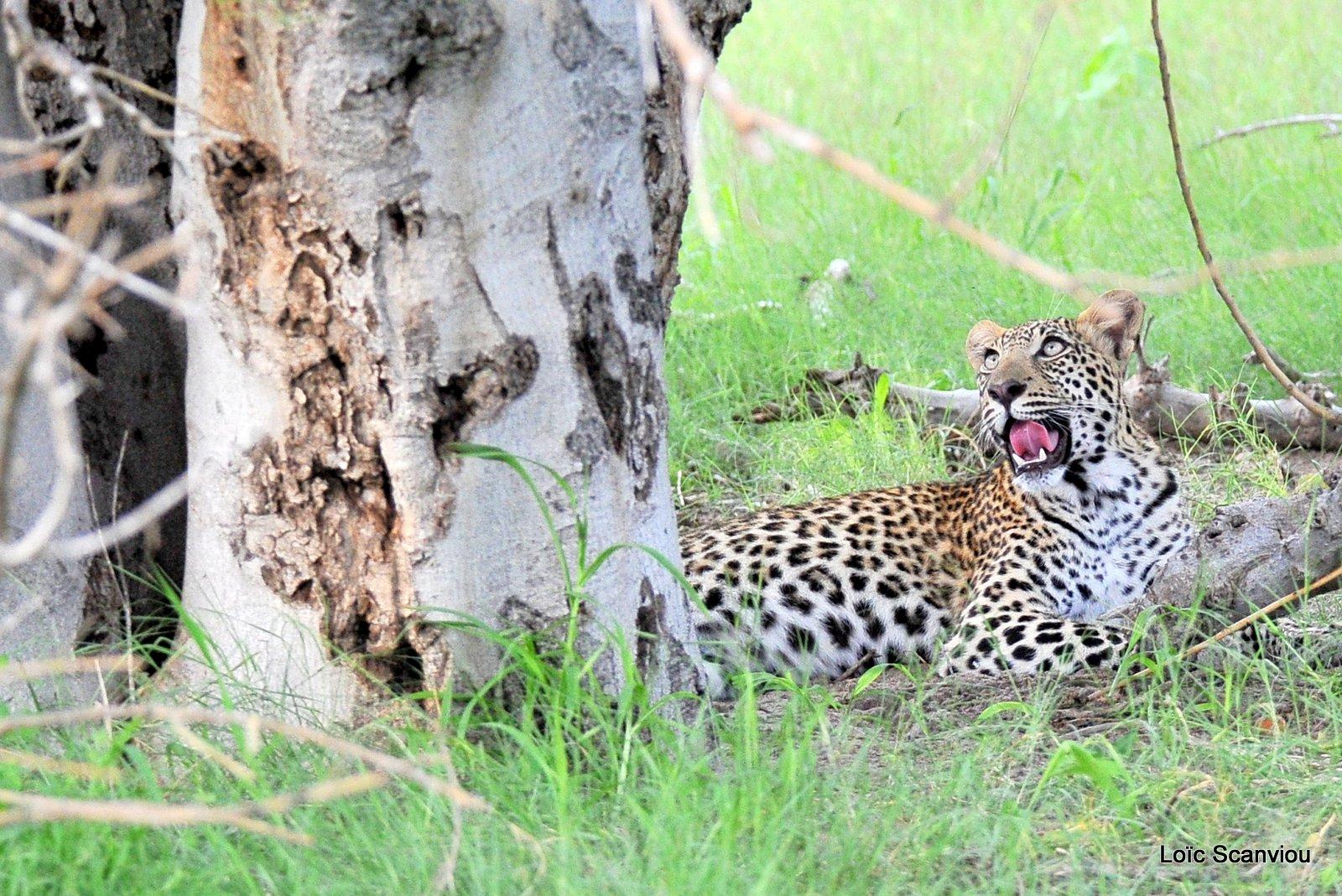 Léopard/Leopard (11)