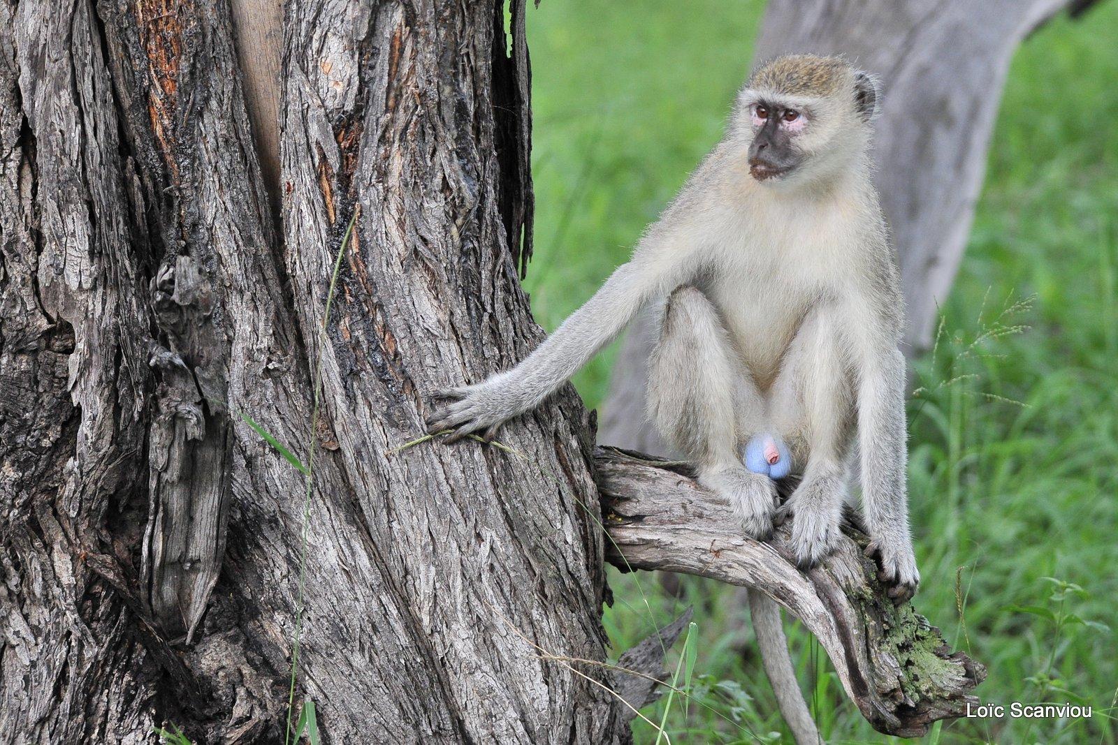 Vervet/Vervet Monkey (1)