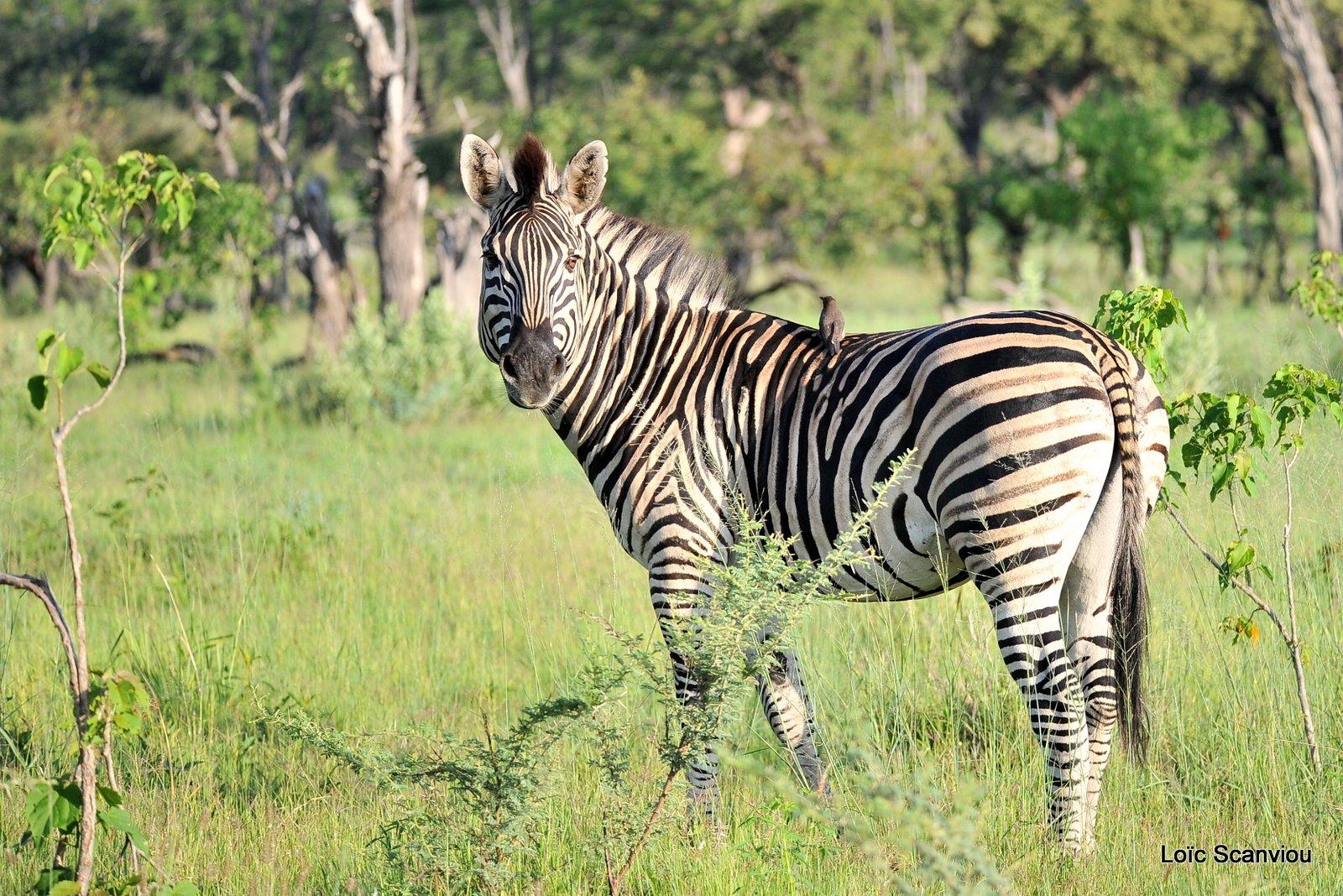 Zèbres/Zebras (3)