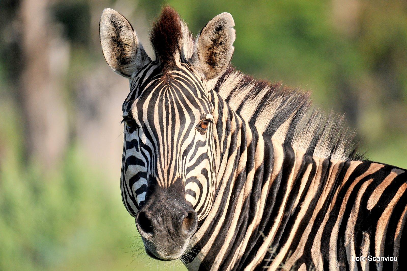 Zèbres/Zebras (4)