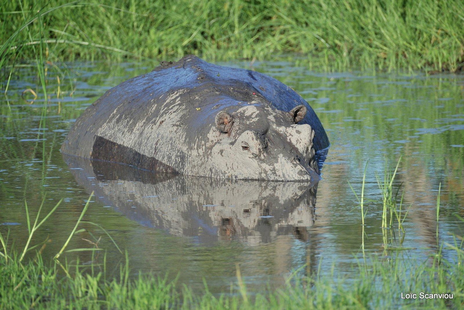 Hippopotame amphibie/Hippopotamus (1)
