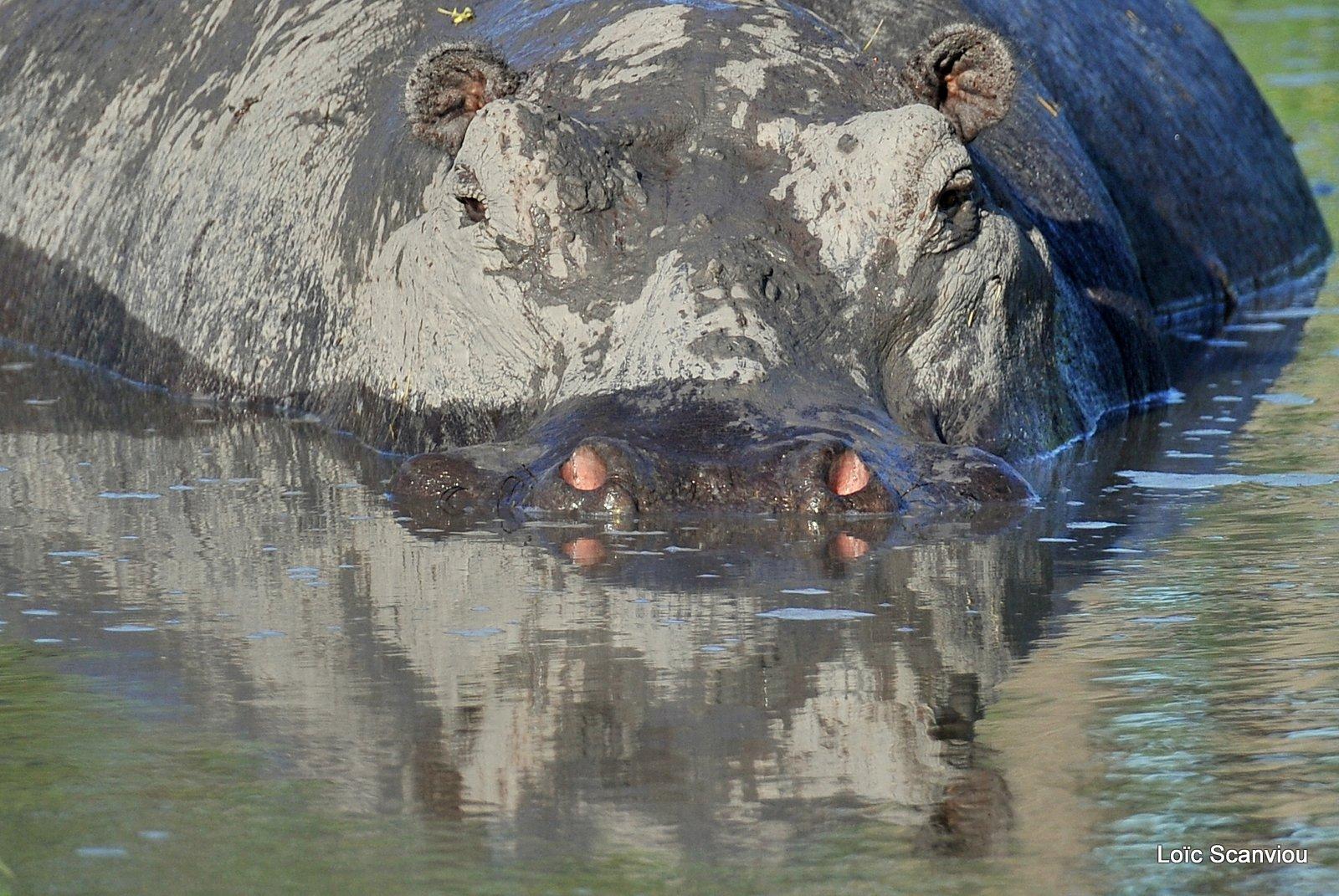 Hippopotame amphibie/Hippopotamus (2)