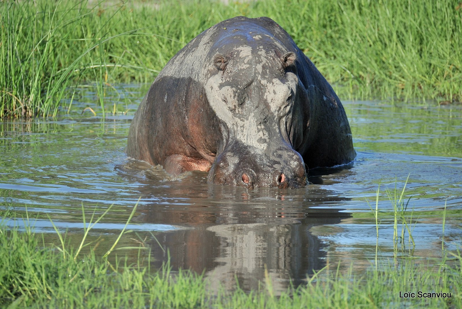 Hippopotame amphibie/Hippopotamus (3)