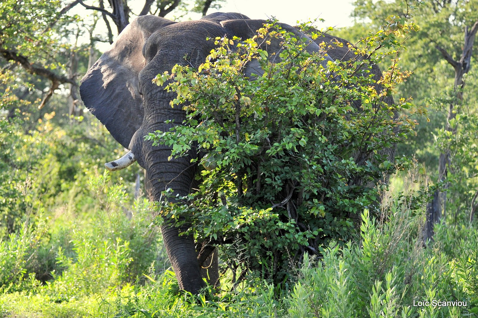 Eléphant d'Afrique/African Elephant (2)