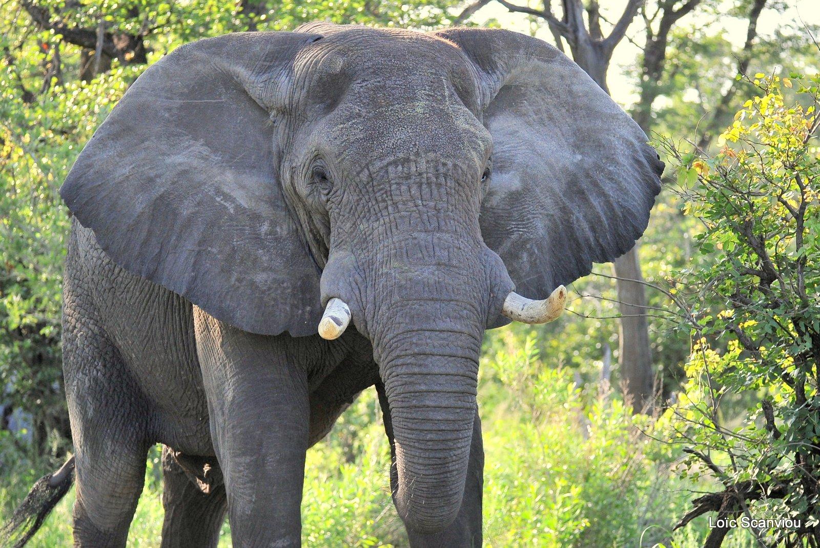 Eléphant d'Afrique/African Elephant (3)