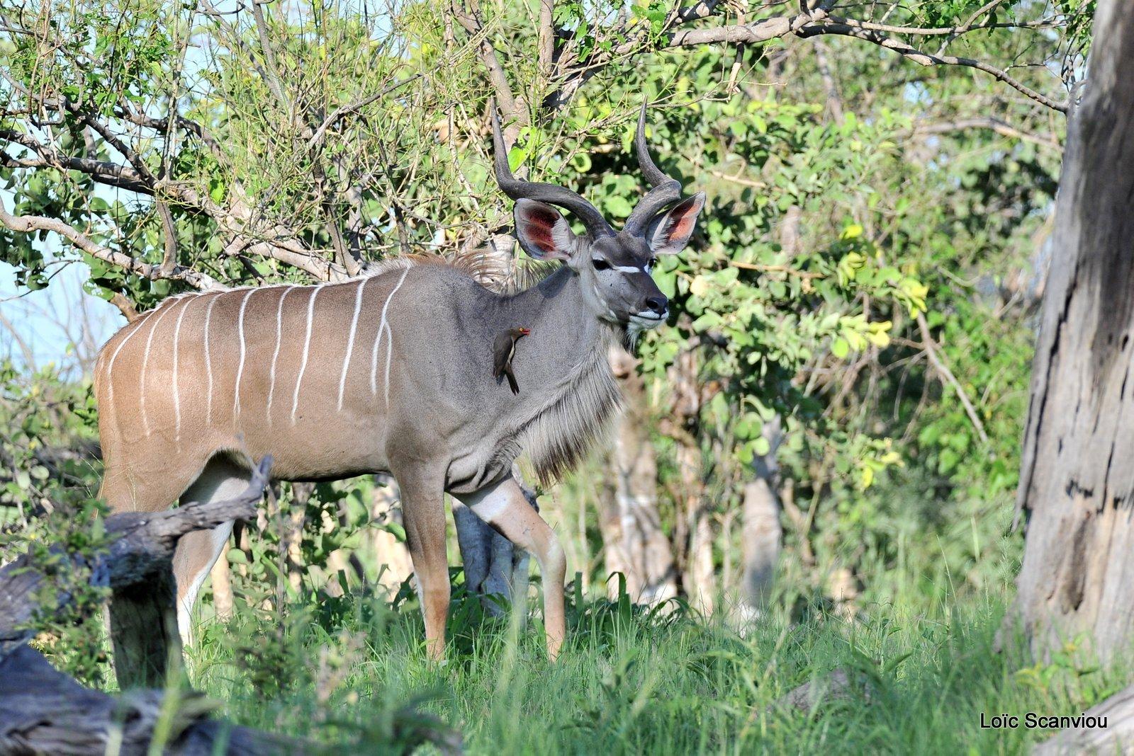 Grand koudou/Greater Kudu (1)